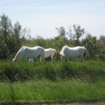 Week Two: La Camargue and Languedoc-Roussillon